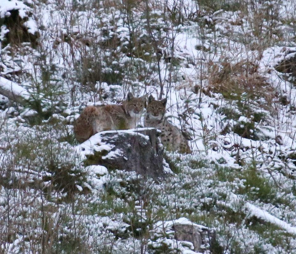 ФОТОФАКТ: в Карпатах заметили очень редкое животное — фото 1