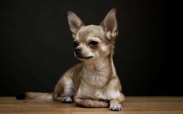 Собаки для ленивых и занятых: породы, которые не нужно постоянно выгуливать — фото 1