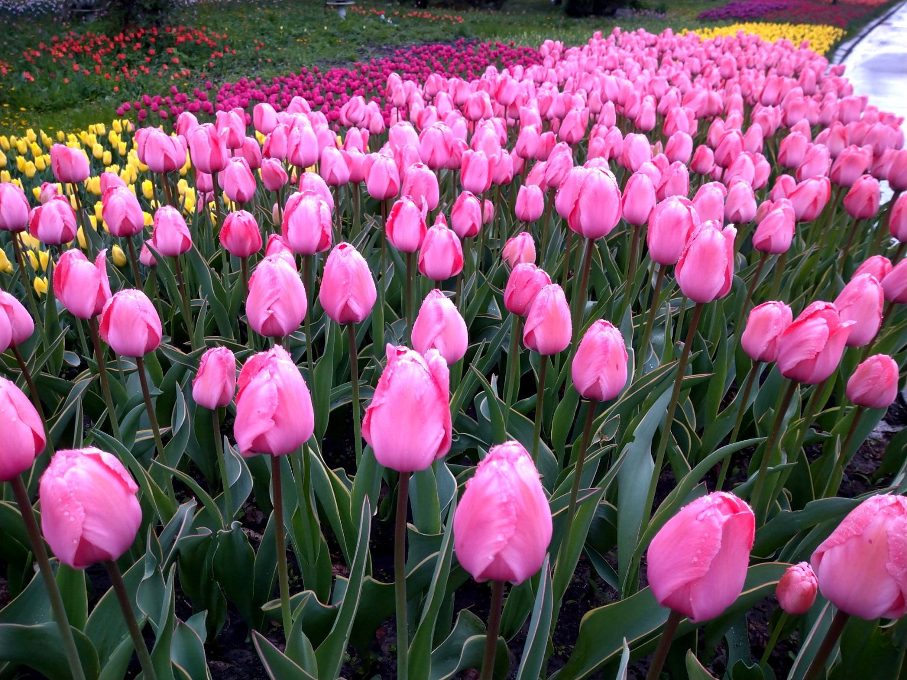 Более 700 000 цветов. В столичном парке Певческое открыли ежегодную выставку тюльпанов — фото 3
