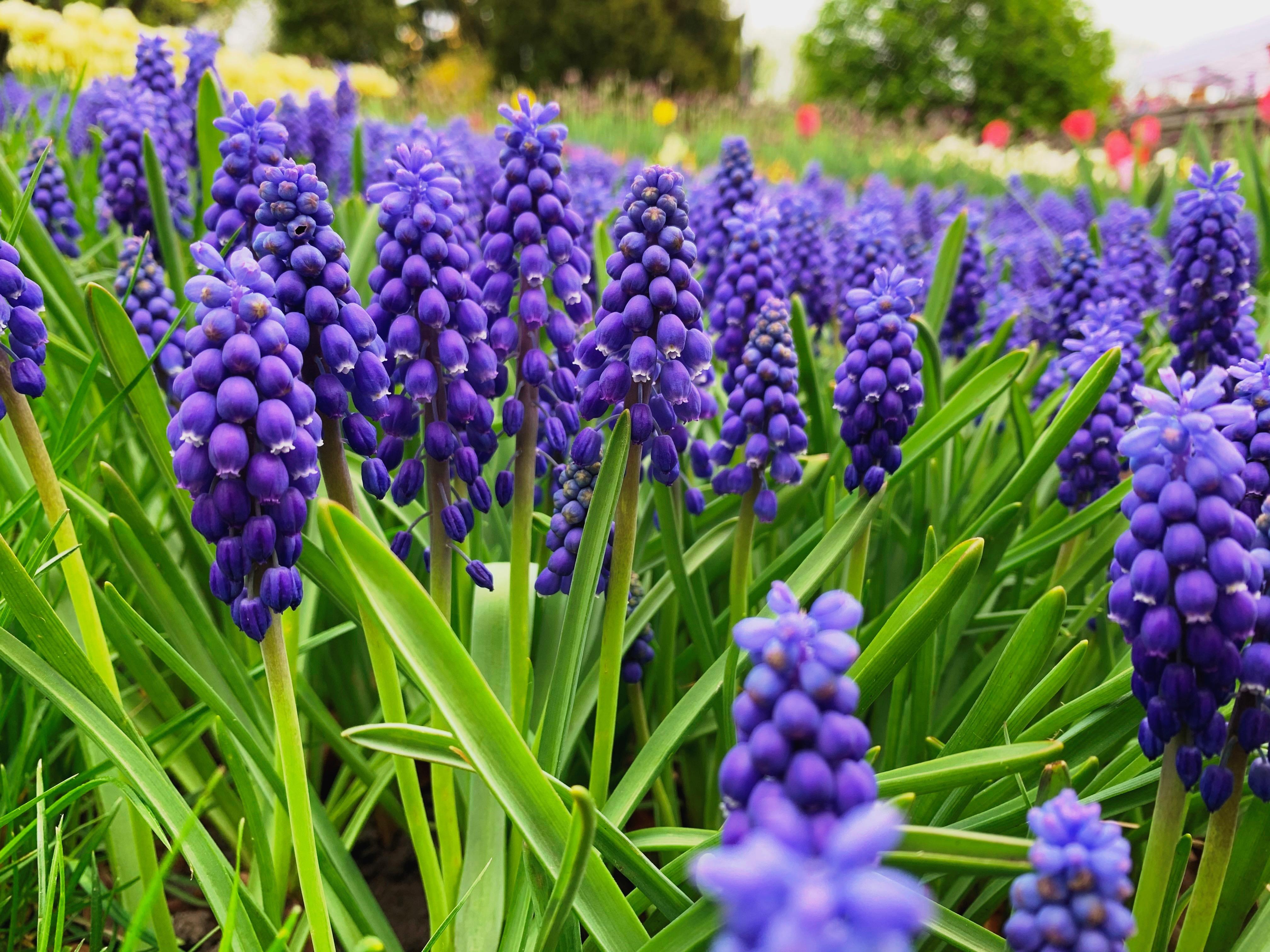 Более 700 000 цветов. В столичном парке Певческое открыли ежегодную выставку тюльпанов — фото 2