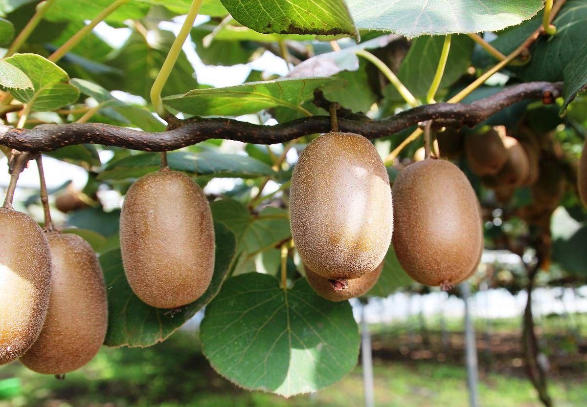 Полезные свойства Киви Gold. Желтий киви — ягода для похудения  — фото 5