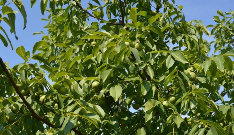 Крепкий орешек или интересные факты, связанные с грецким орехом — фото 1