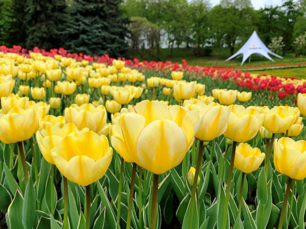 Более 700 000 цветов. В столичном парке Певческое открыли ежегодную выставку тюльпанов — фото 1