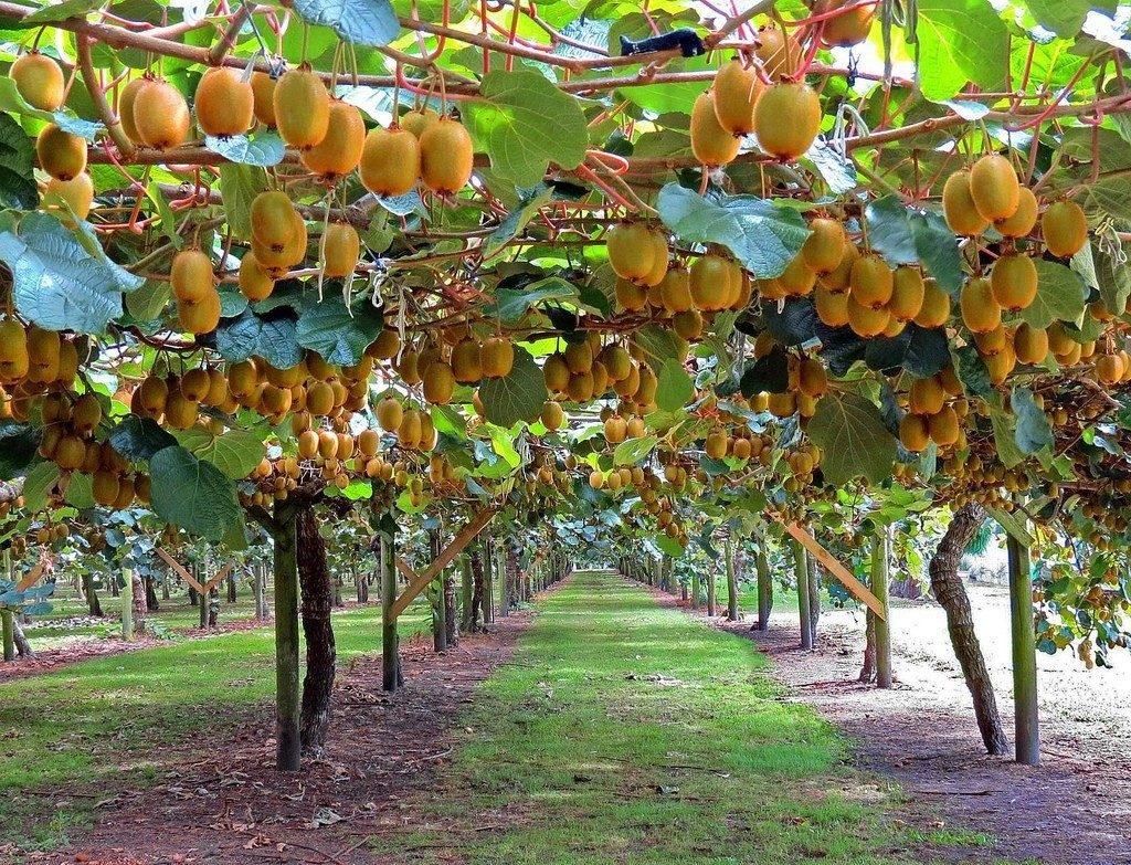Полезные свойства Киви Gold. Желтий киви — ягода для похудения  — фото 7
