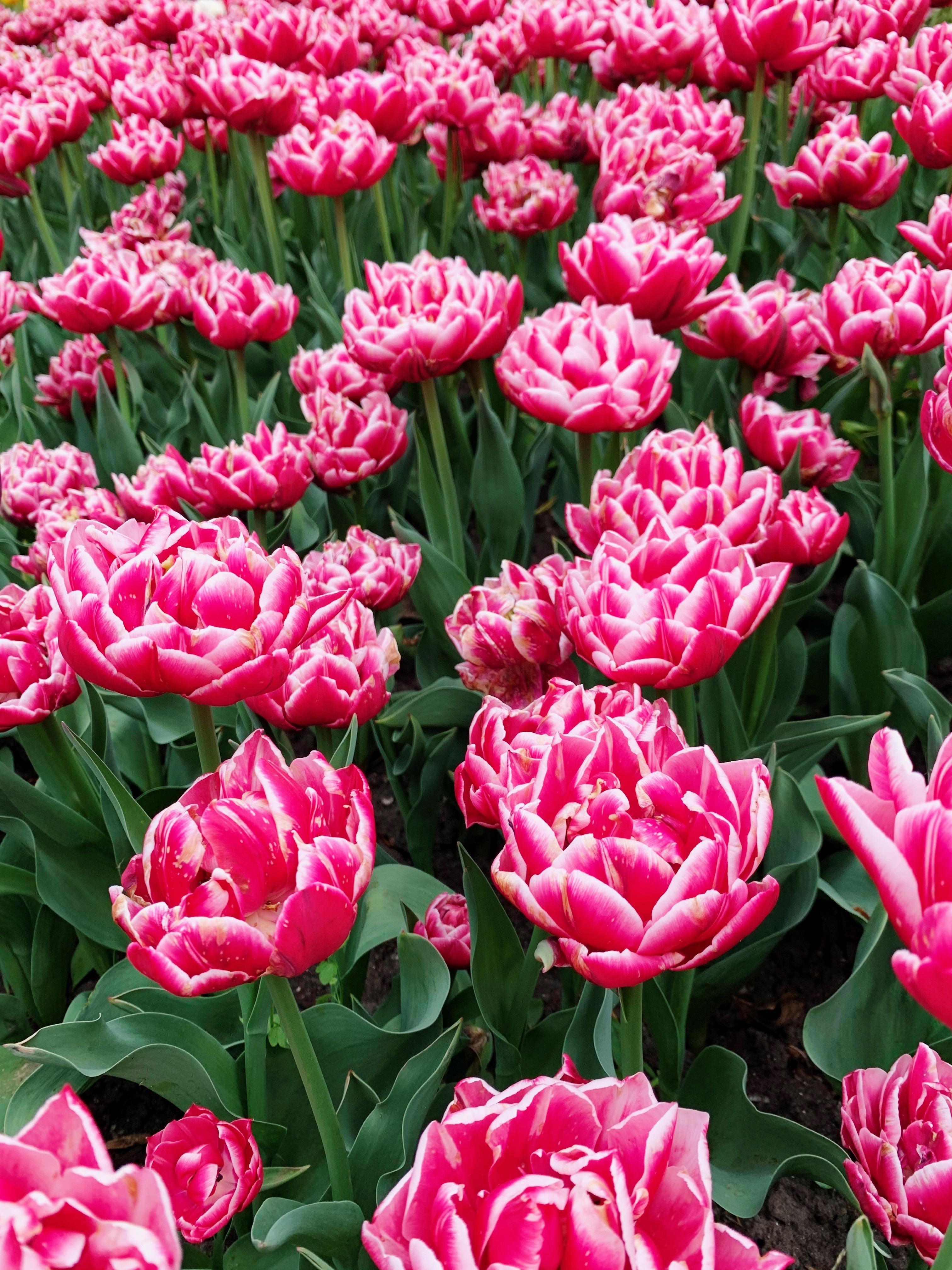 Более 700 000 цветов. В столичном парке Певческое открыли ежегодную выставку тюльпанов — фото 6